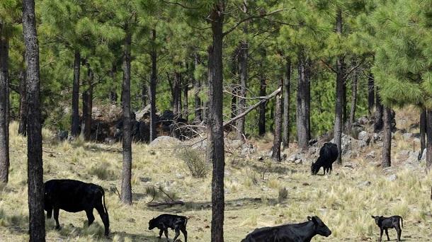 forestacion sistema silvopastoril