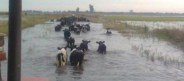 lecheria - la actividad mas perjudicada tambo inundado